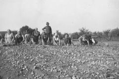 Kartoffelernte1953